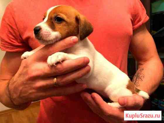 Красивые щенки Джек Рассел Терьер Мытищи