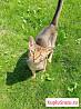Абиссинский кот для вязки