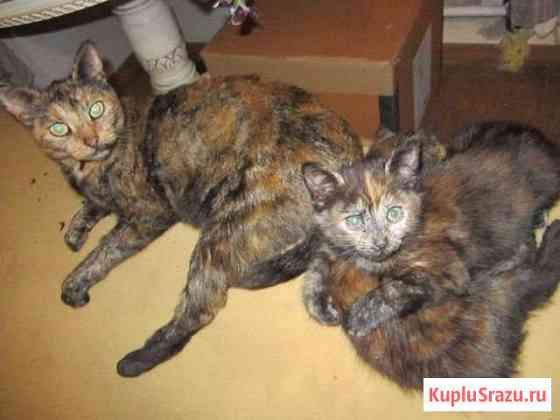 Кошки двойняшки черепашки Сергиев Посад