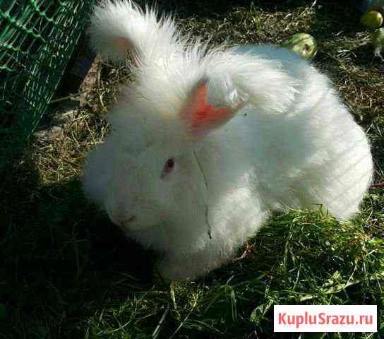 Немецкая ангора кролик Октябрьский