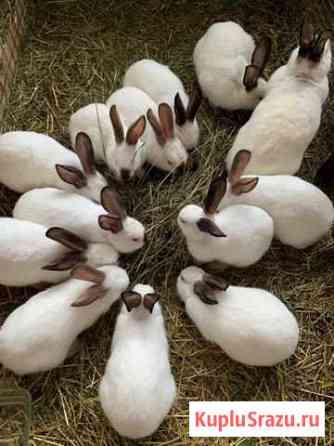 Кролики калифорнийские и смесь с великаном Волоколамск
