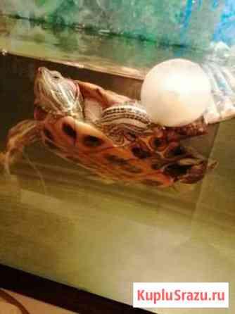 Черепаха красноухая Электросталь
