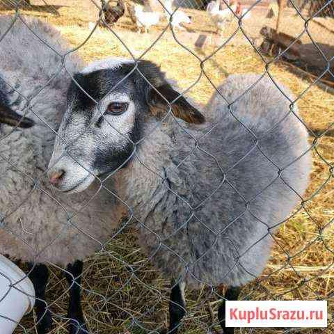 Барашки и овцы романовской породы Кратово