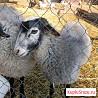 Барашки и овцы романовской породы