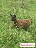 Камерунская козочка (карликовая)