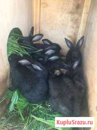 Кролик самец - производитель Пушкин