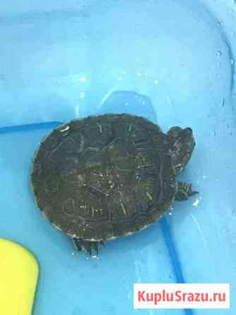 Черепаха Видное