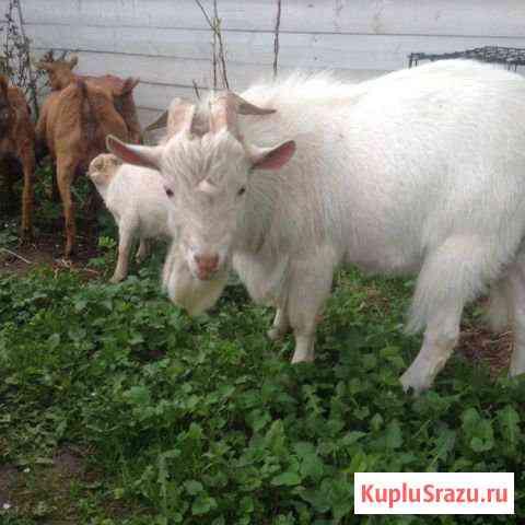 Камерунский козел Барвиха