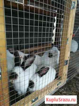 Калифорнийские кролики ЛМС