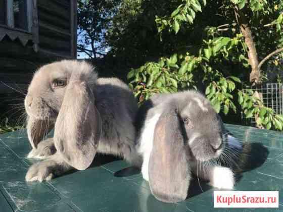 Кролики Французский баран Домодедово