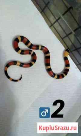 Молочная змея Кэмпбелла Apricot (Lampropeltis tr Армавир