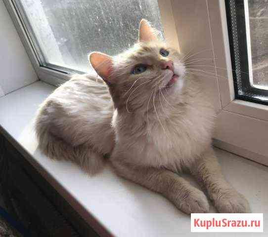 Белый Ангел с персиковым пойнт окрасом Дмитров