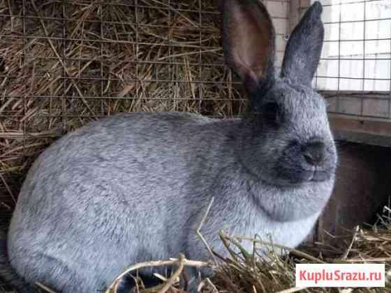 Кролик полтавское серебро Казань