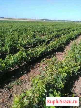 Саженцы винограда Темрюк