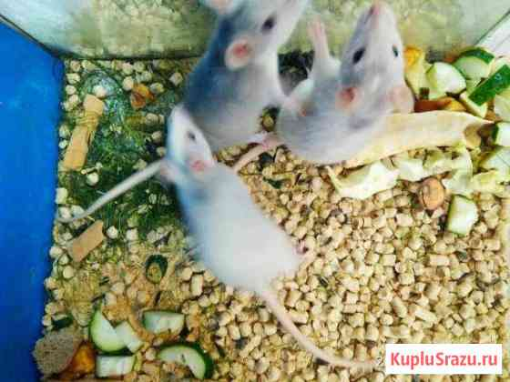 Крысы, хомяки джунгарские и сирийские Челябинск