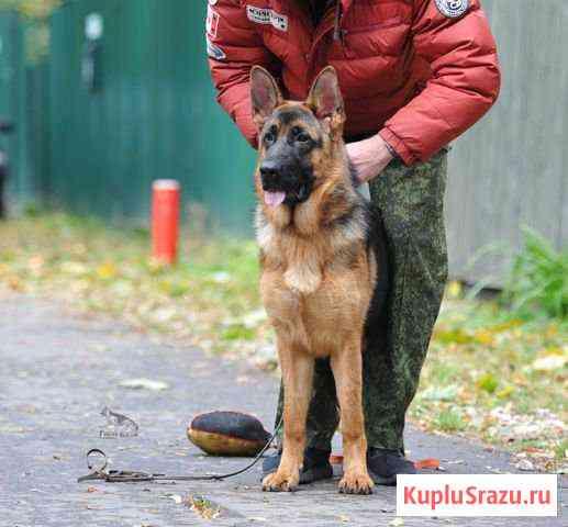 Немецкая овчарка, подросток Быково