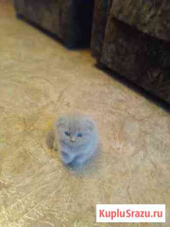 Продам котят Киевский