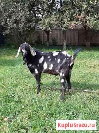 Шикарный 100 нубийский козел для покрытия Апрелевка