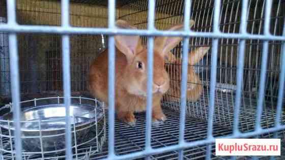 Кролики Бургундские,Серебристые Черкизово