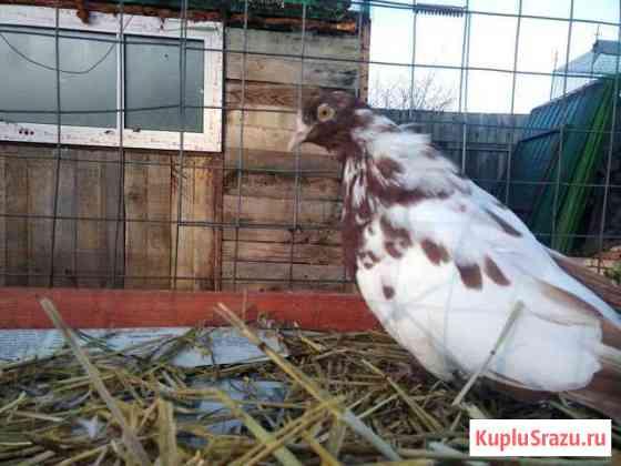 Голубка Домодедово