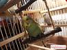 Попугаи домашнего разведения (чехи,волнистые)