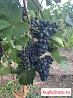 Молдова виноград с поля на вино