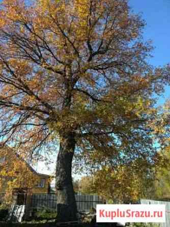 Огромный дуб Селятино