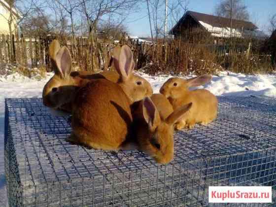 Кролики бургундские, калифорнийские, на племя, раз Москва