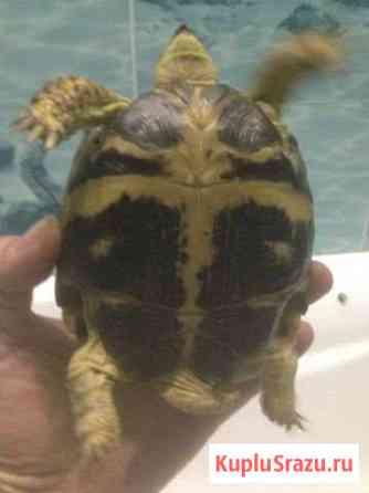Черепаха сухопутная Королев