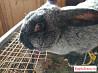Кролики серебро бараны