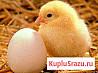 Кобб 500 инкубационное яйцо и бройлер (Чехия)