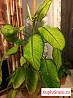 Растение Диффенбахиякомнатная(офисная)