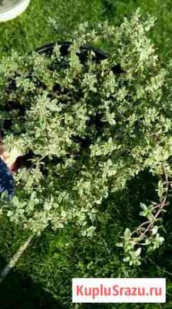 Тимьян (ароматный) 3 вида Железнодорожный