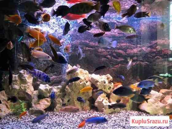 Рыбки цихлиды Пушкин