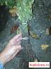 Шиповник (подвой для розы)