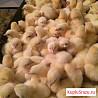 Ведётся предварительная запись на цыплят, утят