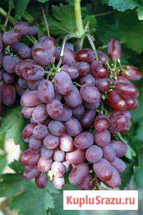 Саженцы винограда от производителя Сочи