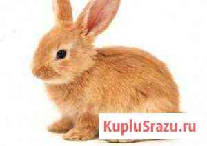Продаётся два кролика на развод самка и самец рыжи Сочи
