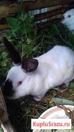 Кролики и крольчата крупной мясной поро Екатеринбург