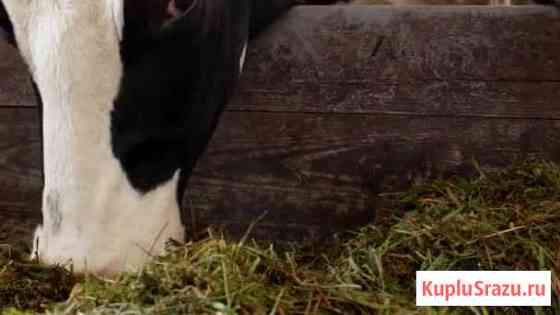 Продается корова Гиагинская