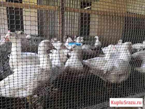 Селезни белой индоутки на воспроизводство Астрахань