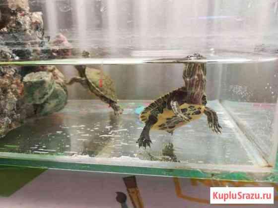 Красноухие черепахи Уфа