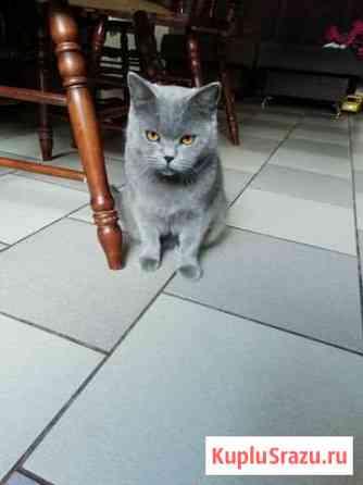 Кошка британская Брянск