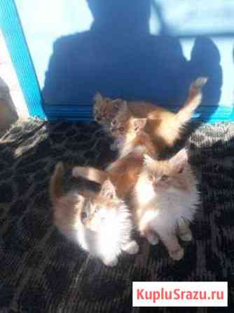 Рыжие котята В добрые руки Клинцы