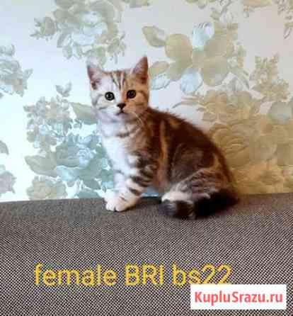 Британские котята редких окрасов Харовск