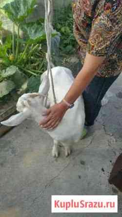 Молодая коза Воронеж