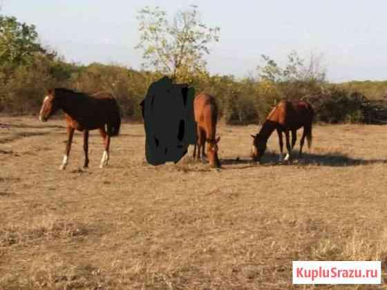 Лошади Хасавюрт