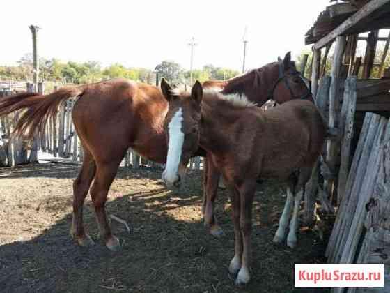 Лошадь Кизляр