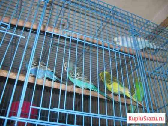 Попугаи Иваново