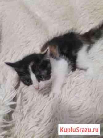 Котёнок трёх цветный принесёт удачю в дом Воронеж